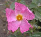 Cistus arg. 'Silver Pink' (5L)