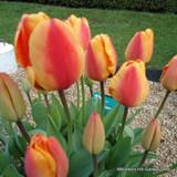 Tulip Apledoorn Elite