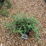 Potentilla fruiticosa 'Primrose Beauty' (5L)