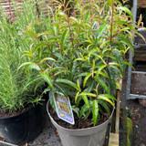 Fuchsia hatschbachii (5L)