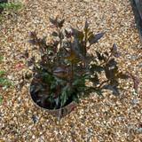 Physocarpus 'Little Devil' (5L)