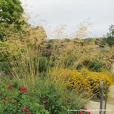Stipa gigantea (Golden Oat Grass) - 2ltr