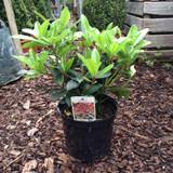 Skimmia japonica 'Rubella' - 7.5ltr