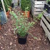 Fuchsia 'Riccartonii Hawkshead'