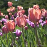 Tulip 'Van Eijk'