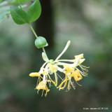 Lonicera periclymenum (Honeysuckle) - 4ltr