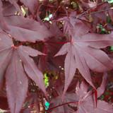 Acer palmatum 'Atropurpureum' - 5ft