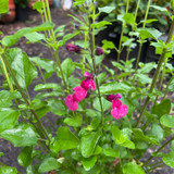 Salvia jamensis 'Flammen'