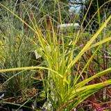 Miscanthus 'Ferner Osten' - Grass