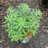 Euphorbia ch. 'Humpty Dumpty'