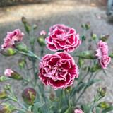 Dianthus 'Sugar Plum'