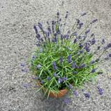 Instant Lavender
