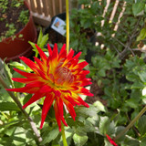 Instant Dahlia 'Red Corona'