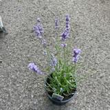 Lavender 'Melissa Lilac' (3L)