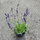 Lavender 'Imperial Gem' (3L)
