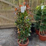 Photinia 'Red Robin' - 1.2-1.5m trellis