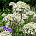 Allium nigrum - BULK 100 or 250 bulbs