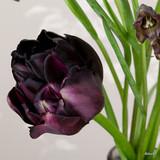 Tulip 'Black Hero' (Double Late) - PACK of 10 Premium size bulbs