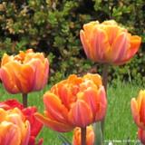 Tulip 'Orange Princess' (Double Late) - PACK of 10 Premium size bulbs