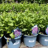 Salvia nem. 'Sensation Deep Blue'