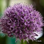 Allium Gladiator - 3 bulbs