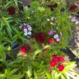 Dianthus (3L)