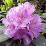 Rhododendron 'Purpureum Grandiflorum' (30-40cm)