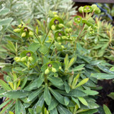 Euphorbia 'Martini' 3ltr