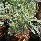 Euphorbia 'Tasmanian tiger' 3ltr