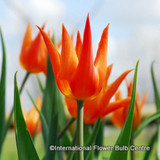 Tulip 'Ballerina' (Lily-flowered) - PACK of 10 Premium size bulbs