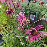 Echinacea 'Rocky Top' 3ltr