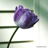 Tulip 'Shuin' (Triumph) - PACK of 10 Premium size bulbs