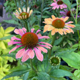 Echinacea 'Pink Pearl' 3ltr
