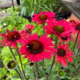 Echinacea 'Kismet Red' 3ltr