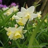 Species Narcissi ' Sailboat' BULK 100 or 250