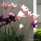 Tulip 'Marilyn' (Lily-flowered) - PACK of 10 Premium size bulbs