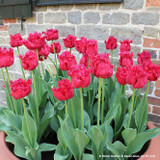 Tulip 'Barbados' (Fringed) - PACK of 10 Premium size bulbs