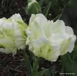 Tulip 'White Rebel' (Parrot) - PACK of 10 Premium size bulbs