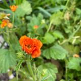 Geum 'Lady Clementine' 3ltr