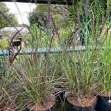 Pennisetum 'Cherry Sparkler' 3ltr  (Grass)