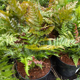 Dryopteris erythrosora - Fern3 ltr pot