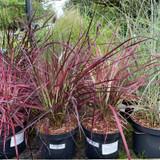 Pennisetum advena 'Fireworks' 3ltr (Grass)
