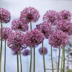 Allium Mars - 6 bulbs