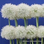 Allium Mount Everest - 3 bulbs