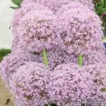 Allium Pinball Wizard - 3 bulbs