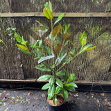 Magnolia 'Exmouth' (7.5L)
