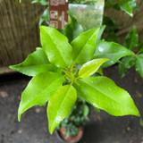 Prunus lusitanica 'Brenelia' (4L)
