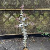 Acacia baileyana 'Purpurea' (4L)