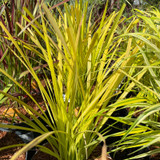 Carex elata 'Aurea' (Grass) 3ltr