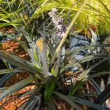 Ophiopogon plan. nigrescens (Mondo grass) 3ltr